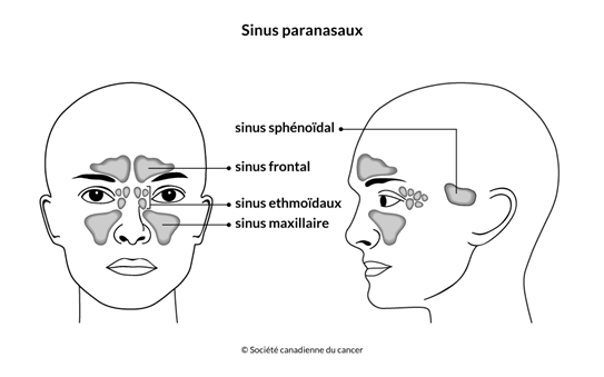 Schéma des sinus paranasaux