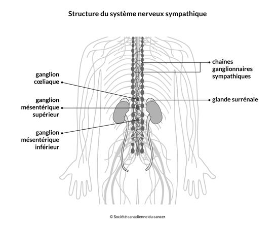 Schéma de la structure du système nerveux sympathique
