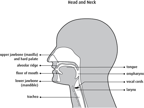 Diagram of the head and neck