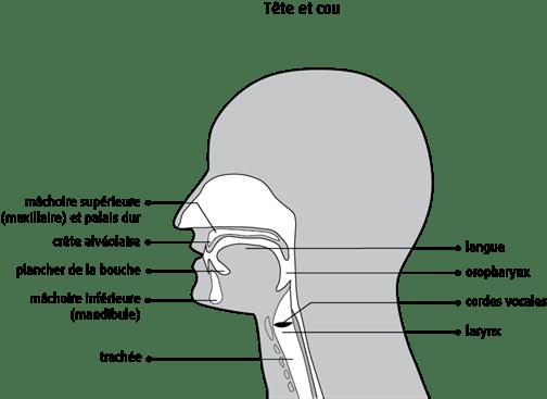 Schéma de la tête et du cou
