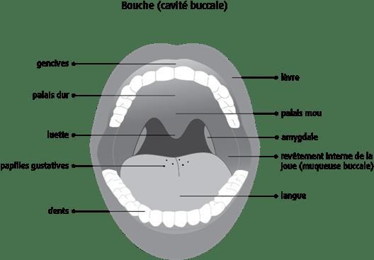 Schéma de la bouche (cavité buccale)