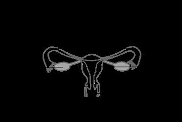 Schéma de l'appareil reproducteur féminin