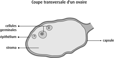 Schéma d'une coupe transversale d'un ovaire