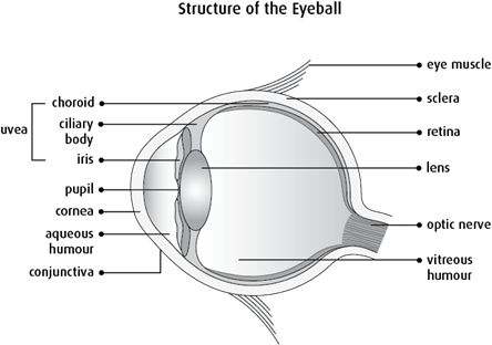 Diagram of the structure of the eyeball