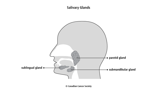 Diagram of the salivary glands