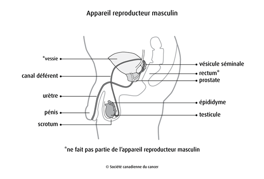 Schéma de l'appareil reproducteur masculin