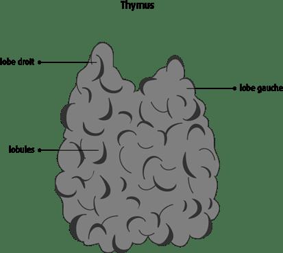 Schéma du thymus