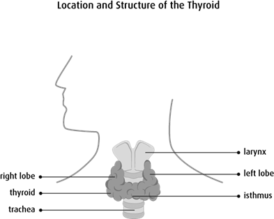 Diagram of the location and structure of the thyroid