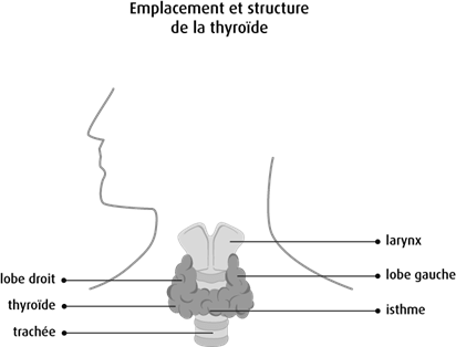 Schéma de l'emplacement et de la structure de la thyroïde