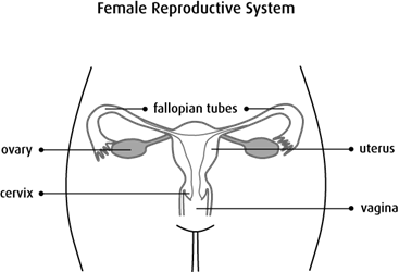 Diagram of the female reproductive system