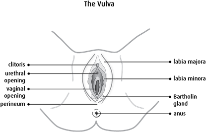 Diagram of the vulva