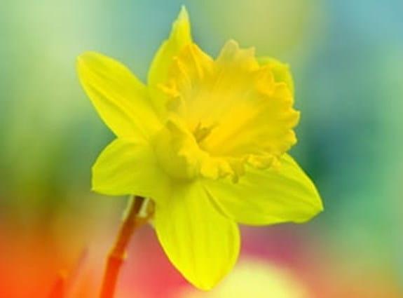 a single daffodil on an obscured field