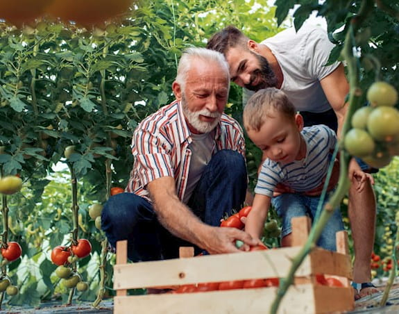 A father son and grandfather are placing tomatoes in a basket at a tomato field
