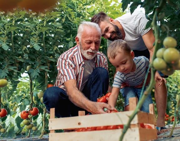 Un père, son fils et un grand-père dans un champ, plaçant des tomates dans un panier.